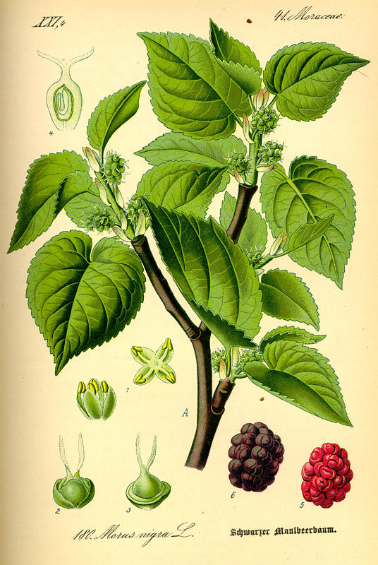 Mûrier, Morus nigra Planch10