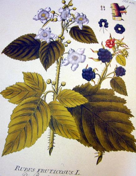 Ronce, Rubus fruticosus Roncep10