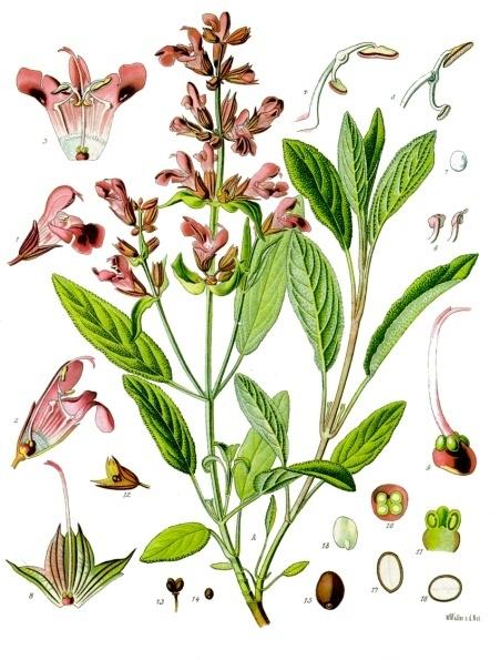 Sauge, Salvia officinalis Sauge10