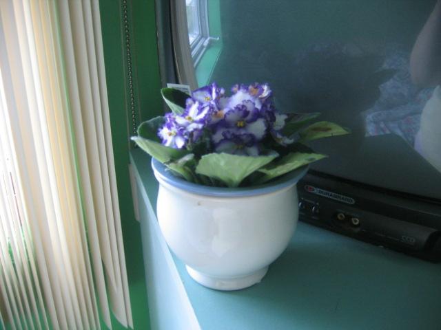Sp cialiste de violette africaine levez vous for Violette africane