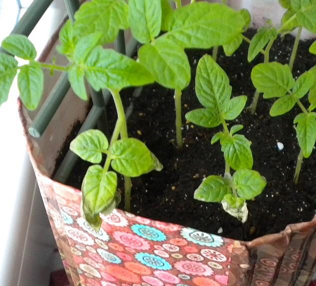 Feuille s che jeune plans de tomates au jardin forum de - Que faire avec des tomates du jardin ...