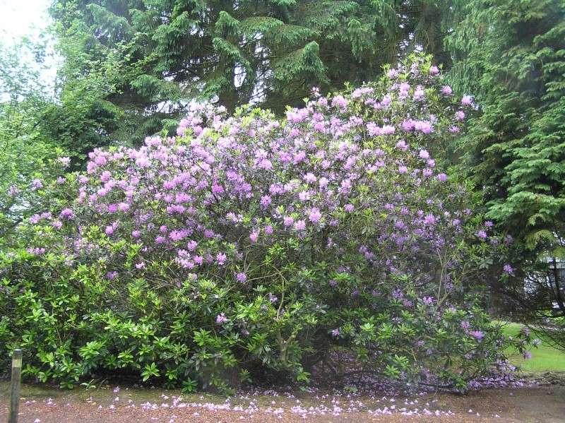 quelle vari t de rhododendron choisir au jardin forum de jardinage. Black Bedroom Furniture Sets. Home Design Ideas