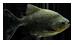 Présentation de vos piranhas Herbivores