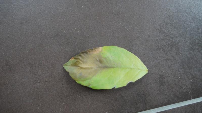 citronnier : taches marron et feuilles qui tombent