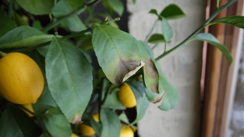 Citronnier taches marron et feuilles qui tombent for Eleagnus maladie feuilles jaunes